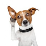 Listening - dog holding ear to listen